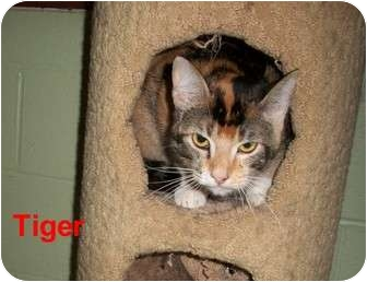 Domestic Shorthair Cat for adoption in Slidell, Louisiana - Tiger (Six)
