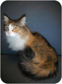 Domestic Longhair Cat for adoption in Jackson, Michigan - Molly