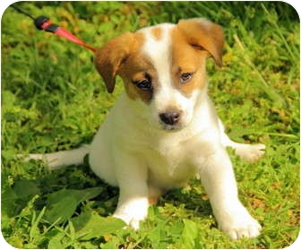 Jack Russell Terrier Mix Puppy for adoption in Foster, Rhode Island - Avery