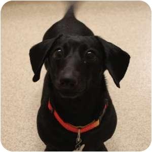 Dachshund Mix Dog for adoption in Naperville, Illinois - Angel