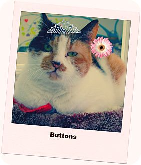 Calico Cat for adoption in North Branford, Connecticut - Buttons
