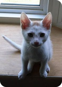 Domestic Shorthair Kitten for adoption in Kirkwood, Delaware - Maggie