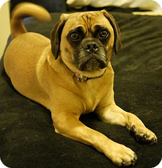 Pug/Beagle Mix Dog for adoption in New York, New York - Buster