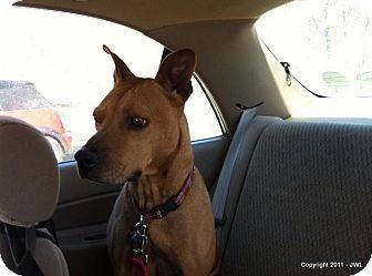 Labrador Retriever/German Shepherd Dog Mix Dog for adoption in Dallas, North Carolina - ABBY LEIGH