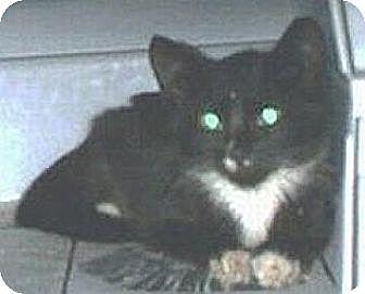 Domestic Shorthair Cat for adoption in Miami, Florida - Tuxie
