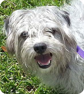 Maltese Mix Dog for adoption in Orlando, Florida - Titan