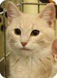 Domestic Shorthair Kitten for adoption in West Des Moines, Iowa - Rambo