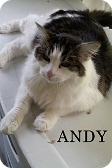 Domestic Longhair Cat for adoption in Shelby, North Carolina - Andy