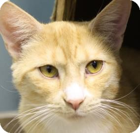 Domestic Shorthair Cat for adoption in West Des Moines, Iowa - Tiger