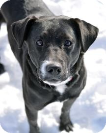 Labrador Retriever Mix Dog for adoption in Cheyenne, Wyoming - Dove