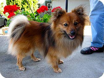 Pomeranian Dog for adoption in Gig Harbor, Washington - Rio