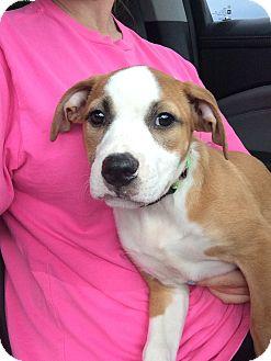 Boxer/Bulldog Mix Puppy for adoption in Homestead, Florida - Ally (Frances)