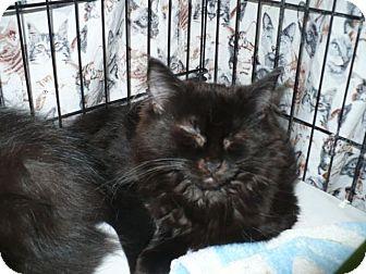 Domestic Mediumhair Kitten for adoption in Colmar, Pennsylvania - Ganesh