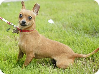 Miniature Pinscher/Chihuahua Mix Dog for adoption in Detroit, Michigan - Mini-Adopted!