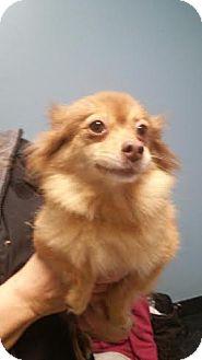 Pomeranian Dog for adoption in Huntley, Illinois - Mimi
