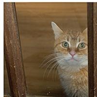 Domestic Mediumhair Cat for adoption in Covington, Kentucky - Sandra Dee