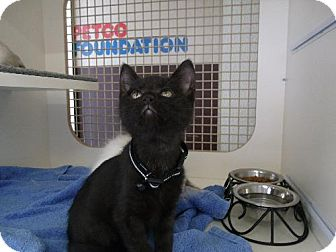 Domestic Shorthair Kitten for adoption in Orlando, Florida - Salem