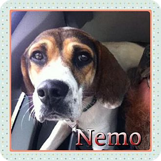 Beagle Mix Dog for adoption in Kenmore, New York - Nemo
