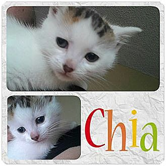 Domestic Shorthair Cat for adoption in Rosamond, California - Chia (Cha Cha)