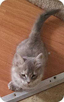 Hemingway/Polydactyl Kitten for adoption in temecula, California - MITTENS