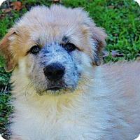 Adopt A Pet :: Bernard - Austin, TX