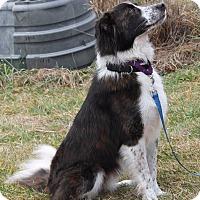 Adopt A Pet :: Collin - Lebanon, CT