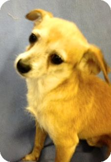 Chihuahua Mix Dog for adoption in Inverness, Florida - Rusty