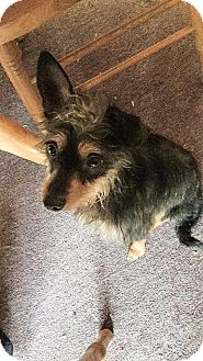 Chihuahua/Yorkie, Yorkshire Terrier Mix Dog for adoption in Coatesville, Pennsylvania - Chico