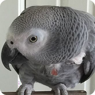 African Grey for adoption in Asheville, North Carolina - Rainbow