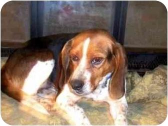 Beagle Dog for adoption in Waldorf, Maryland - Camilla