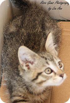 American Shorthair Kitten for adoption in Flora, Illinois - Teacup