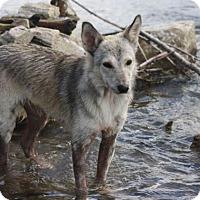 Adopt A Pet :: Misty-Pending - Saskatoon, SK