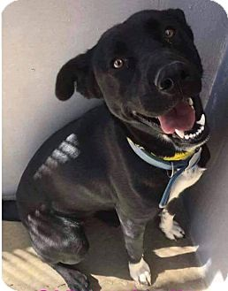 Labrador Retriever/Shepherd (Unknown Type) Mix Dog for adoption in Wytheville, Virginia - Layla