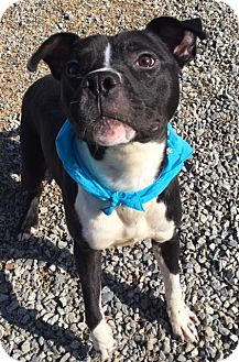Pit Bull Terrier Mix Dog for adoption in Greensboro, North Carolina - Brantley