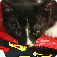 Adopt A Pet :: Small Fry- Polydactyl - Woodland, CA