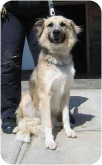 Anatolian Shepherd Dog for adoption in Tracy, California - Chester