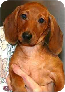 Dachshund Puppy for adoption in House Springs, Missouri - Jingo
