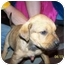 Photo 3 - Retriever (Unknown Type) Mix Puppy for adoption in White Settlement, Texas - Pickles
