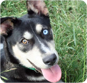 Husky/Shepherd (Unknown Type) Mix Dog for adoption in McCormick, South Carolina - Clover