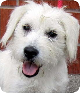Westie, West Highland White Terrier Mix Dog for adoption in Los Angeles, California - Brittany