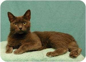 Domestic Shorthair Cat for adoption in Sacramento, California - Nina
