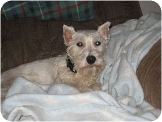 Schnauzer (Miniature) Dog for adoption in North Benton, Ohio - Snowy