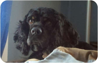 Cocker Spaniel Mix Dog for adoption in Mentor, Ohio - Toby 2yr Adopted