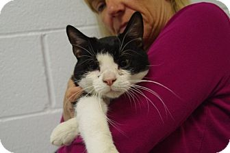 Domestic Shorthair Cat for adoption in Elyria, Ohio - IKE