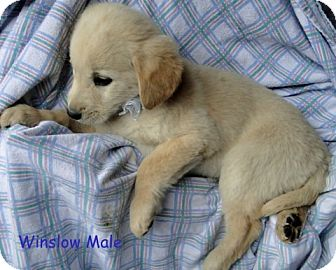 Australian Shepherd/Labrador Retriever Mix Puppy for adoption in Danbury, Connecticut - Winslow ADOPTION PENDING