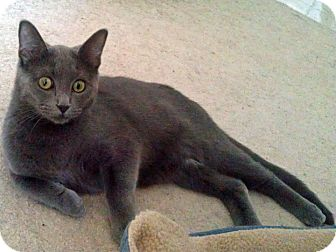 Domestic Shorthair Kitten for adoption in Mt. Prospect, Illinois - Gordy