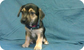 Schnauzer (Miniature) Mix Puppy for adoption in Waldorf, Maryland - DJ