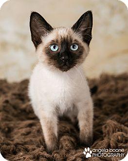 Domestic Shorthair Kitten for adoption in Eagan, Minnesota - Topaz