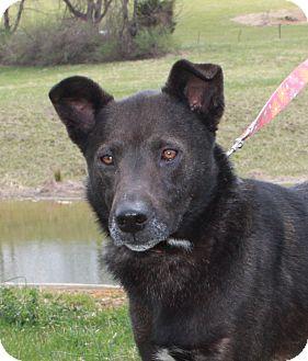 Shepherd (Unknown Type)/Labrador Retriever Mix Dog for adoption in Staunton, Virginia - Bub
