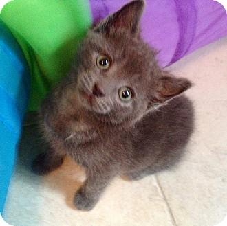 Domestic Shorthair Kitten for adoption in Chicago, Illinois - Natasha